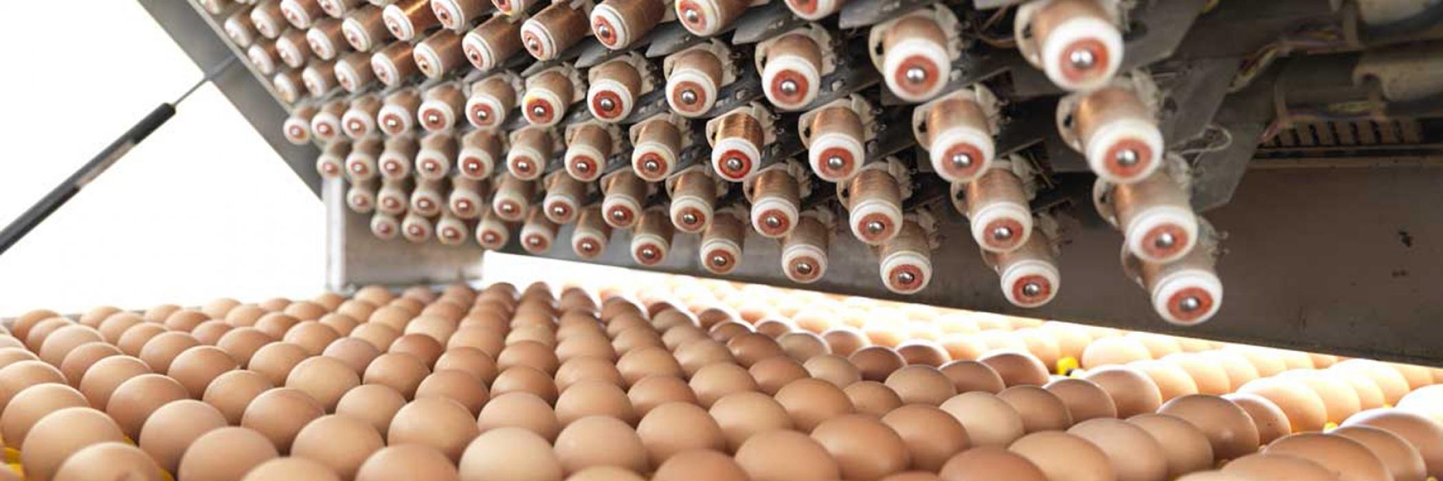 fase di controllo delle uova